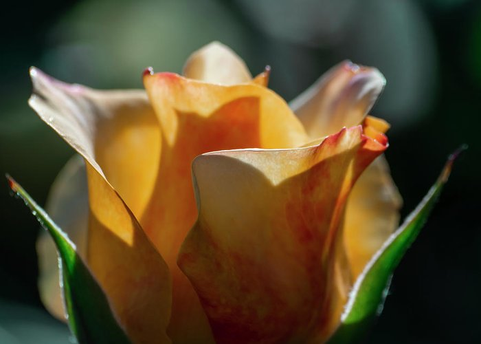 Aesthetic Greeting Card featuring the photograph Nature - Amber Rose Vase Like by Arthur Babiarz