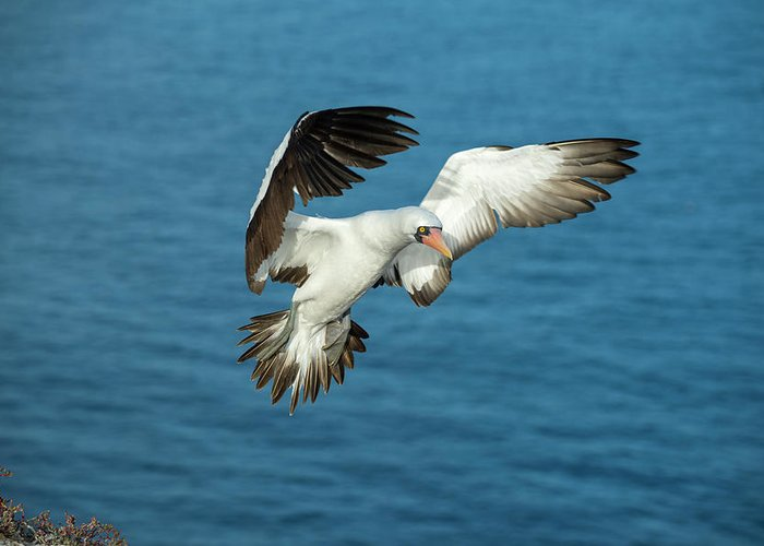 Animals Greeting Card featuring the photograph Nazca Booby Landing At Gardner Inlet by Tui De Roy