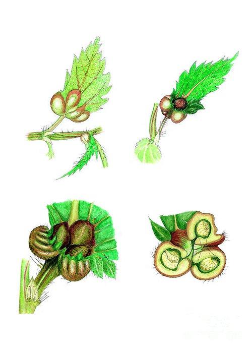 Designs Similar to Nettle Leaf Galls