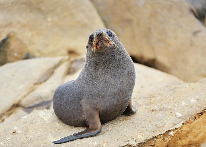 Alertness Greeting Card featuring the photograph New Zealand Fur Seal, Arctocephalus by Raimund Linke