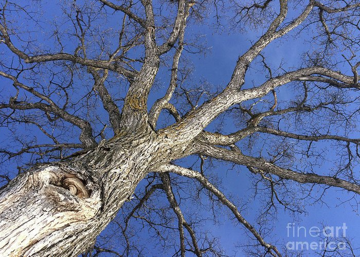 Tree Greeting Card featuring the photograph Old Oak Tree by Mary Mikawoz