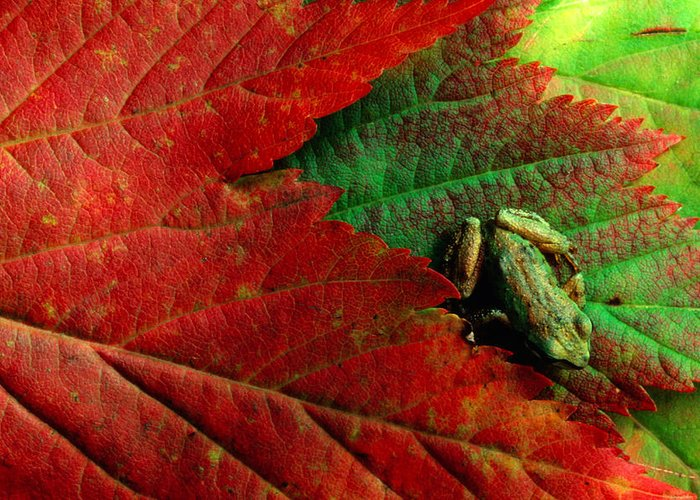 Pacific Tree Frog Greeting Card featuring the photograph Pacific Tree Frog Hyla Regilla On Maple by Art Wolfe