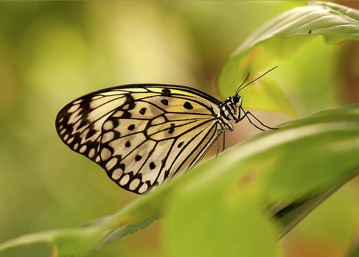 Natural Pattern Greeting Card featuring the photograph Paper Kite Butterfly by Photos By Jay Bee