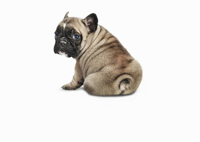Pets Greeting Card featuring the photograph Pedigree French Bulldog Against A White by Andrew Bret Wallis