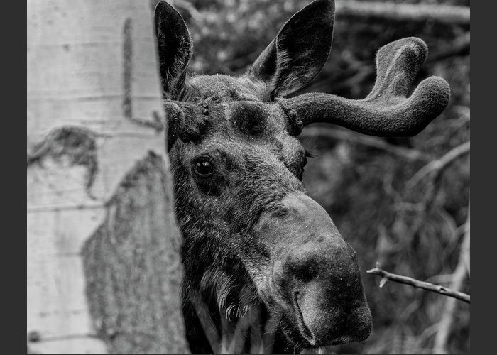 America Greeting Card featuring the photograph Peek-a-moose by ProPeak Photography