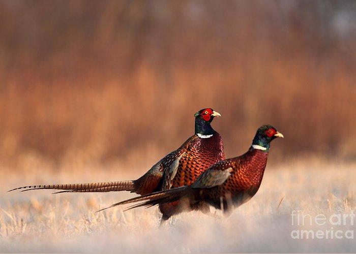 German Greeting Card featuring the photograph Pheasant by Adam Fichna
