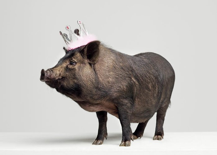 Crown Greeting Card featuring the photograph Pig With Toy Crown On Head, Studio Shot by Roger Wright