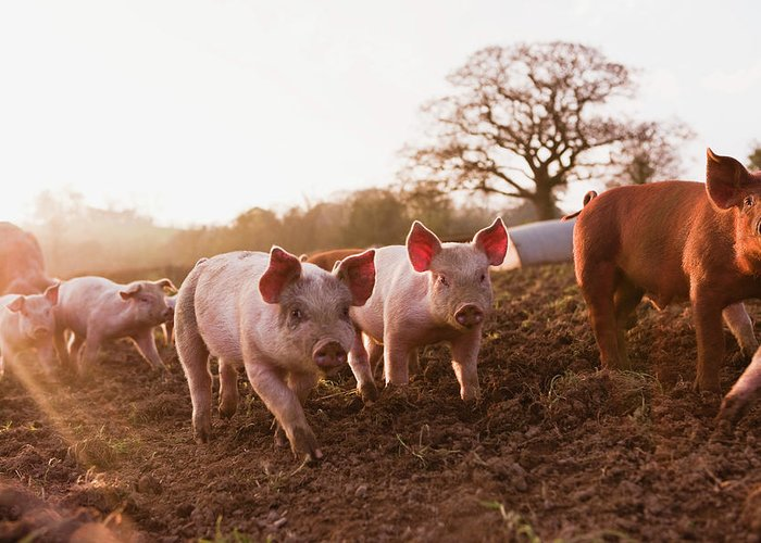 Pig Greeting Card featuring the photograph Piglets In Barnyard by Jupiterimages