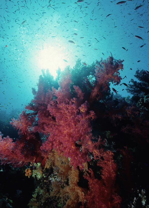 Underwater Greeting Card featuring the photograph Pink Soft Coral And Anthias by Tammy616