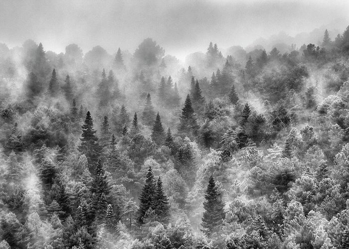 Mono Greeting Card featuring the photograph Pinsapos Into The Woods. Bw. Foggy Sunrise by Guido Montanes Castillo
