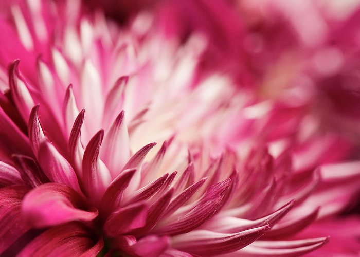 Petal Greeting Card featuring the photograph Poised Petals by Jody Trappe Photography