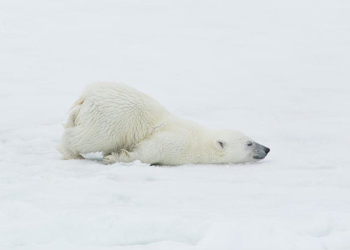 Svalbard Islands Greeting Card featuring the photograph Polar Bear Cub Stretching Out On Ice by Darrell Gulin