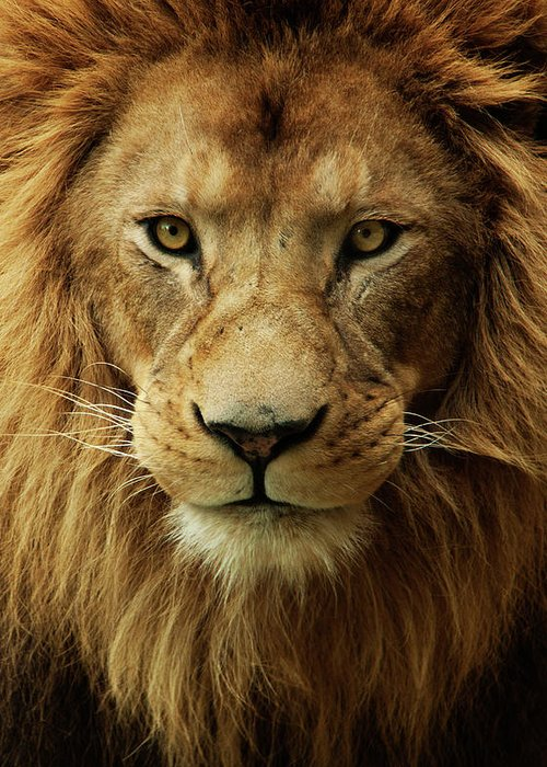 Animal Themes Greeting Card featuring the photograph Portrait Male African Lion by Brit Finucci