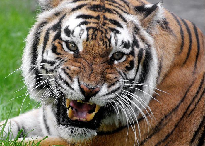 Paw Greeting Card featuring the photograph Portrait Of An Aggressive Bengal Tiger by Empphotography