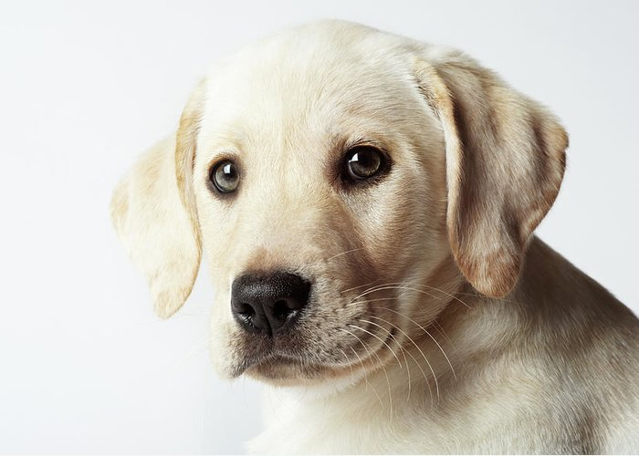 White Background Greeting Card featuring the photograph Portrait Of Blond Labrador Retriever by Uwe Krejci
