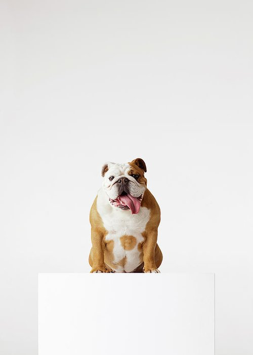 Pets Greeting Card featuring the photograph Portrait Of British Bulldog Sitting by Compassionate Eye Foundation/david Leahy