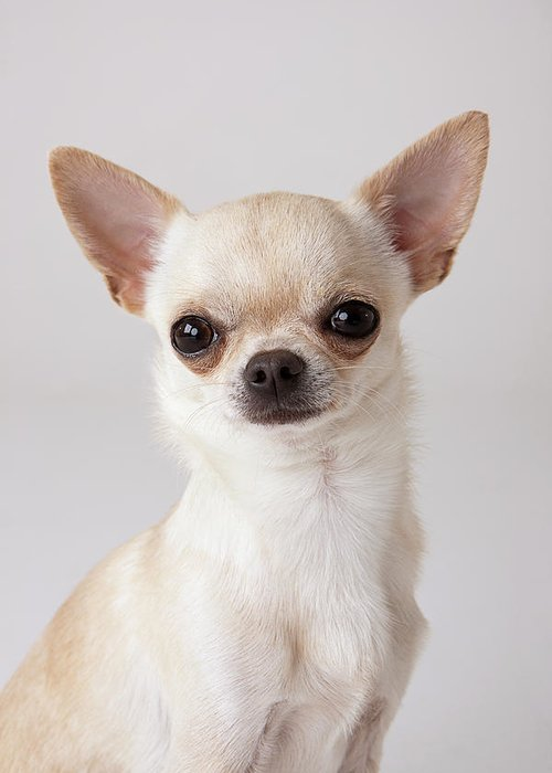 Pets Greeting Card featuring the photograph Portrait Of Chihuahua by Compassionate Eye Foundation/david Leahy