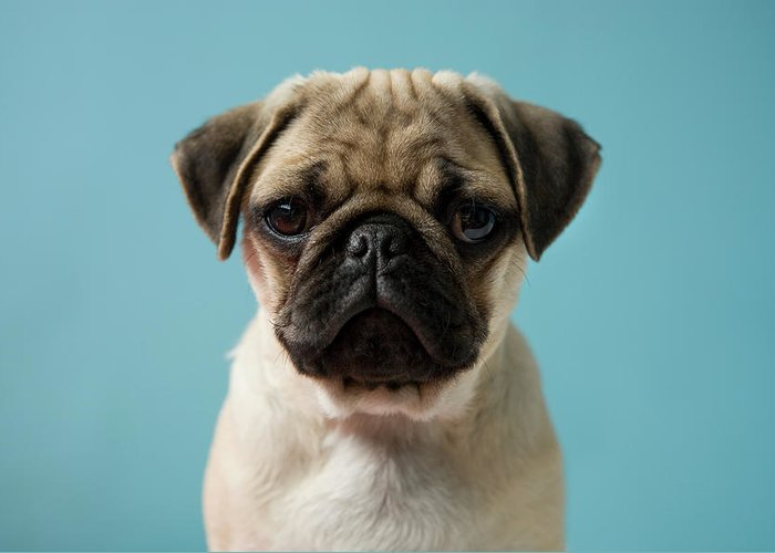 Pets Greeting Card featuring the photograph Pug Puppy Against Blue Background by Reggie Casagrande