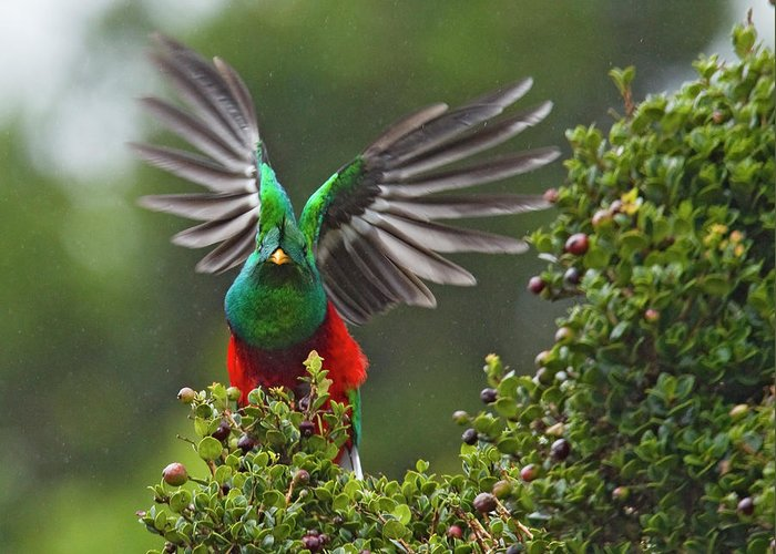 Animal Themes Greeting Card featuring the photograph Quetzal Taking Flight by Photograph Taken By Nicholas James Mccollum