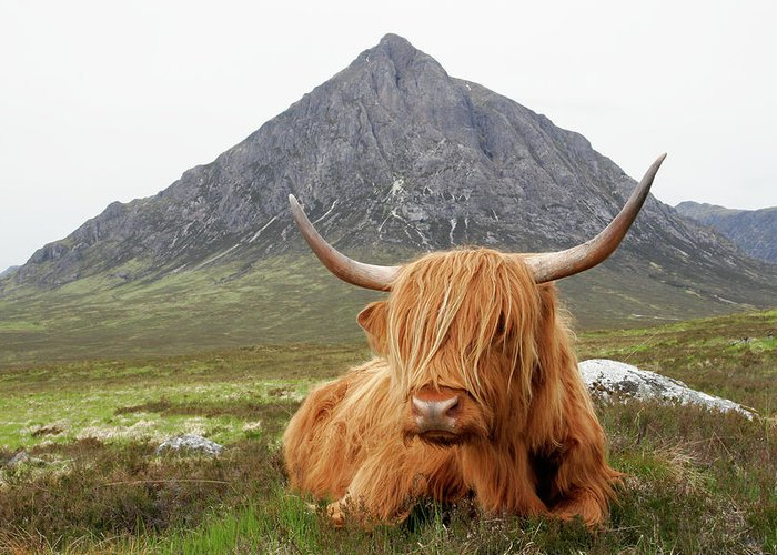 Horned Greeting Card featuring the photograph Quintessential Scotland by Thedman