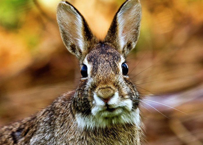 Animal Themes Greeting Card featuring the photograph Rabbit by Hvargasimage