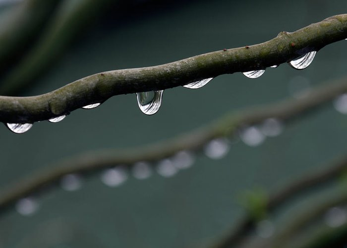 Windsor Greeting Card featuring the photograph Rain Branch by Photography By Gordana Adamovic Mladenovic