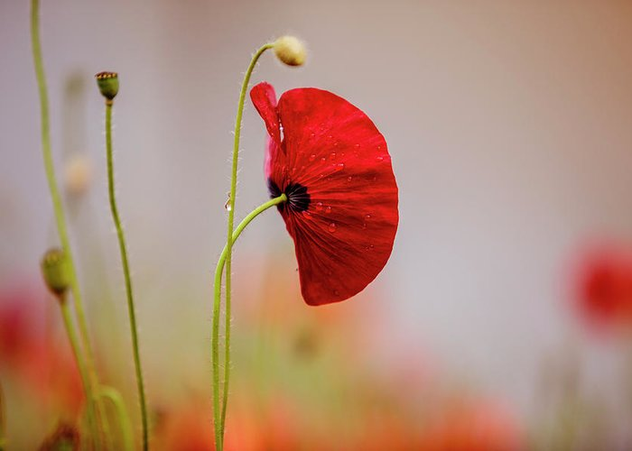 Poppy Greeting Card featuring the photograph Red Corn Poppy Flowers by Nailia Schwarz