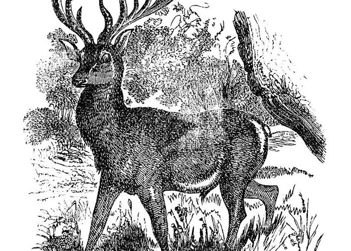 Engraving Greeting Card featuring the digital art Red Deer Stag Engraving by Nnehring