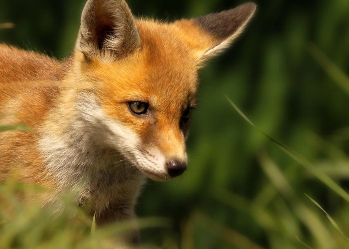 Alertness Greeting Card featuring the photograph Red Fox Cub In The Grass by Chris Jolley