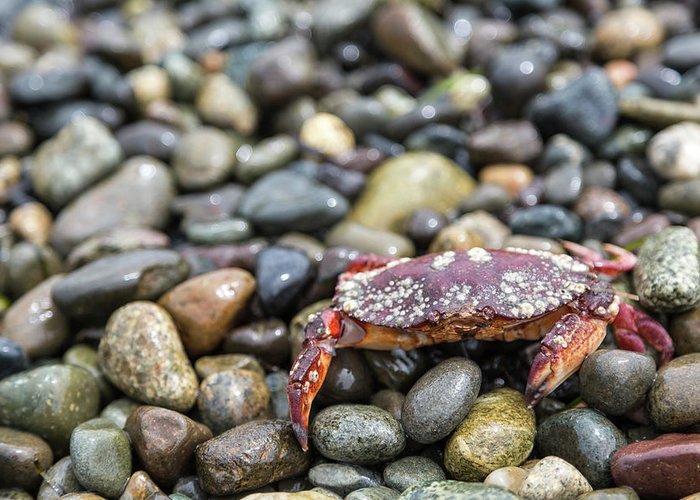 Water's Edge Greeting Card featuring the photograph Red Rock Crab On A Pebble Covered Beach by Stevedf