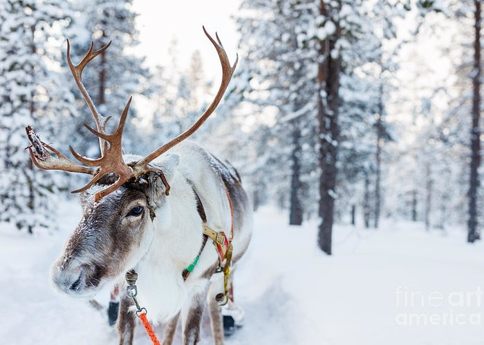 Deer Greeting Card featuring the photograph Reindeer In A Winter Forest In Finnish by Blueorange Studio