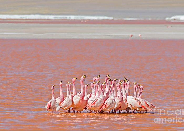 No Greeting Card featuring the photograph Ritual Dance Of Flamingo, Wildlife by Helen Filatova