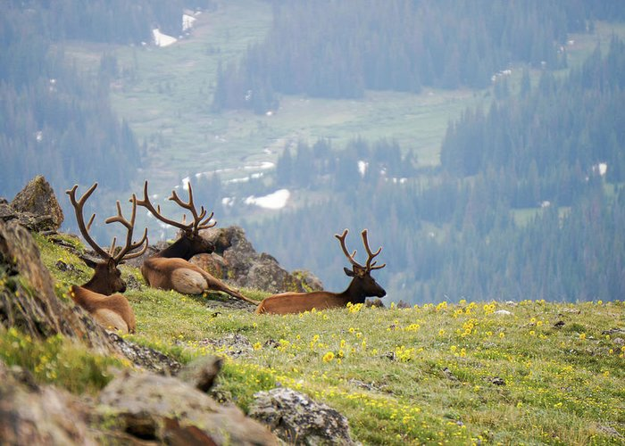 Rocky Greeting Card featuring the photograph Rocky Mountain Elk 1 by Richard A Brown