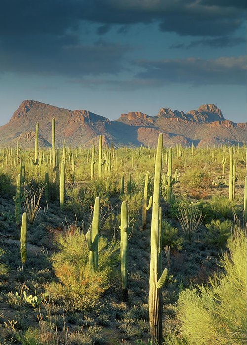 Saguaro Cactus Greeting Card featuring the photograph Saguaro Cactus In Sonoran Desert And by Kencanning