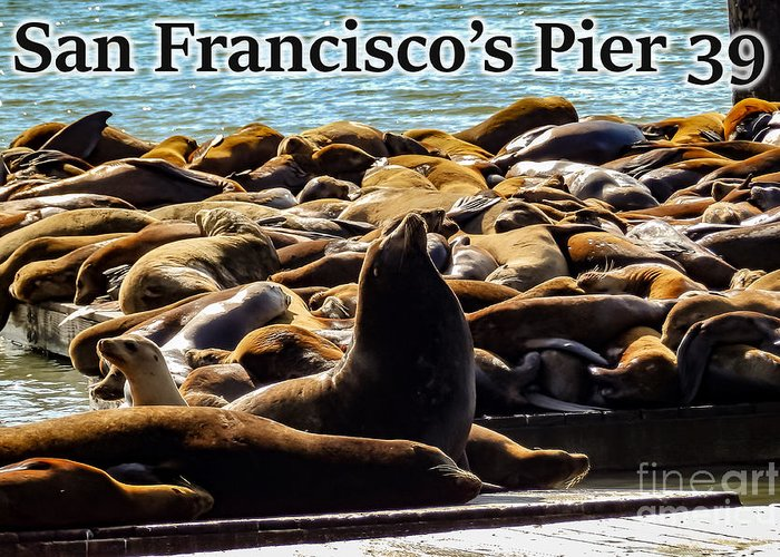 San Francisco Greeting Card featuring the photograph San Francisco's Pier 39 Walruses 2 by G Matthew Laughton