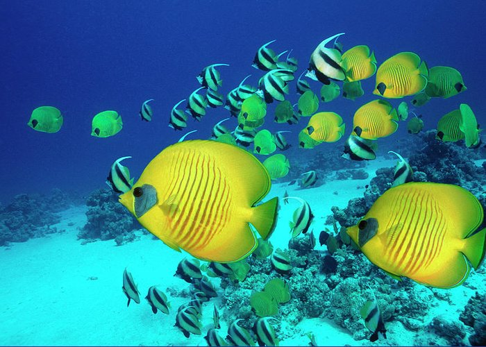 Underwater Greeting Card featuring the photograph School Of Butterfly Fish Swimming On by Georgette Douwma