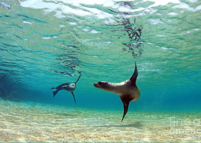 Beauty Greeting Card featuring the photograph Sea Lion Swimming Underwater In Tidal by Longjourneys