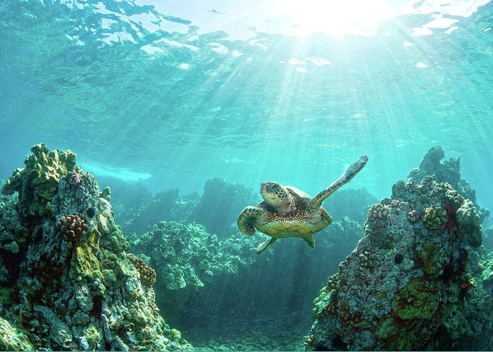 Underwater Greeting Card featuring the photograph Sea Turtle Coral Reef by M.m. Sweet