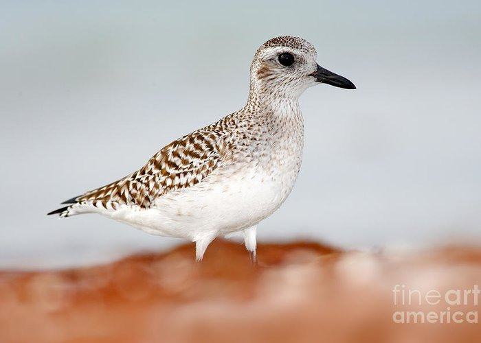 Calidris Greeting Card featuring the photograph Semipalmated Sandpiper, Calidris by Ondrej Prosicky