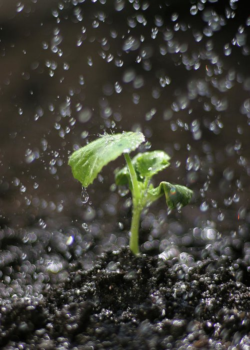 Outdoors Greeting Card featuring the photograph Shallow Depth Of Field Watering Sprout by Dess