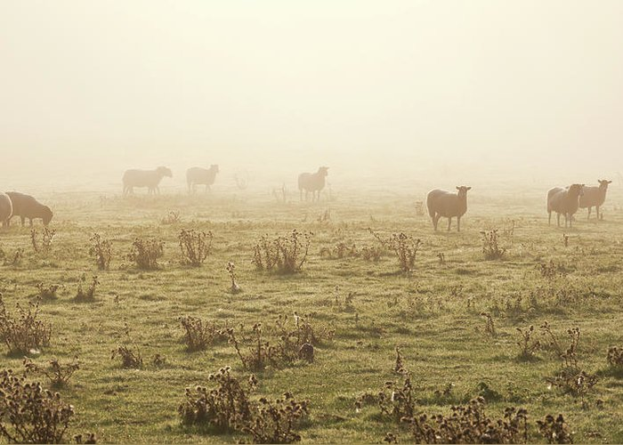 Dawn Greeting Card featuring the photograph Sheep Viewed On A Misty Morning by Travelpix Ltd