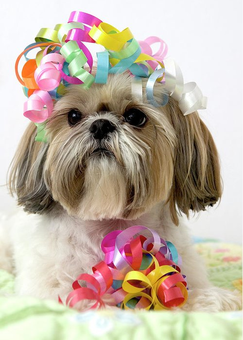 Pets Greeting Card featuring the photograph Shih Tzu Dog by Geri Lavrov