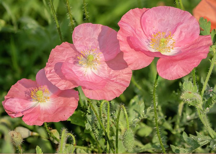 Shirley Poppy Greeting Card featuring the photograph Shirley Poppy 2018-21 by Thomas Young