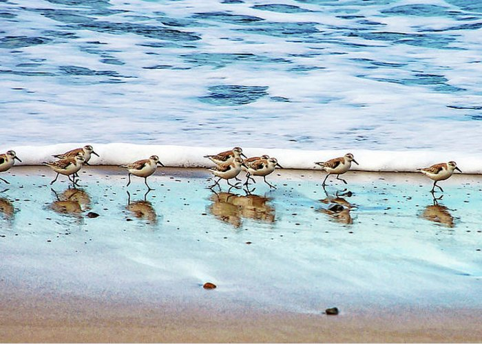 Animal Themes Greeting Card featuring the photograph Shorebirds by Vanessa Mccauley