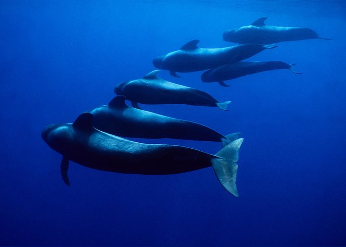 Underwater Greeting Card featuring the photograph Short-finned Pilot Whales, Globicephala by Gerard Soury