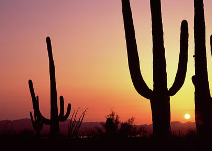 Photography Greeting Card featuring the photograph Silhouette Of Saguaro Cacti Carnegiea by Panoramic Images