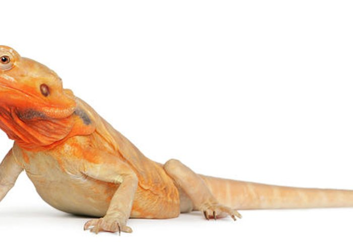 Belgium Greeting Card featuring the photograph Silkbacks Scaleless Bearded Dragon by Life On White