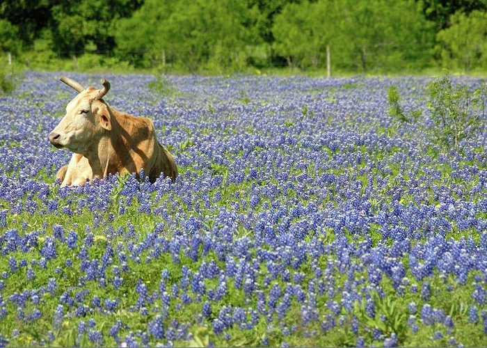 Cow Greeting Card featuring the photograph Single Cow Resting In A Field Of Texas by Zview