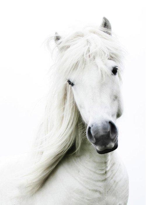 Horse Greeting Card featuring the photograph Snowhite by Gigja Einarsdottir