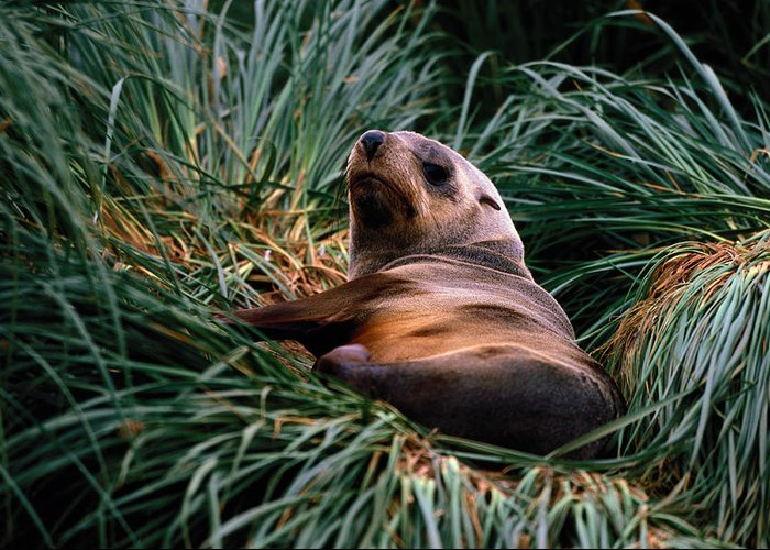 Grass Greeting Card featuring the photograph Southern Fur Seal Arctocephalus Gazella by Art Wolfe
